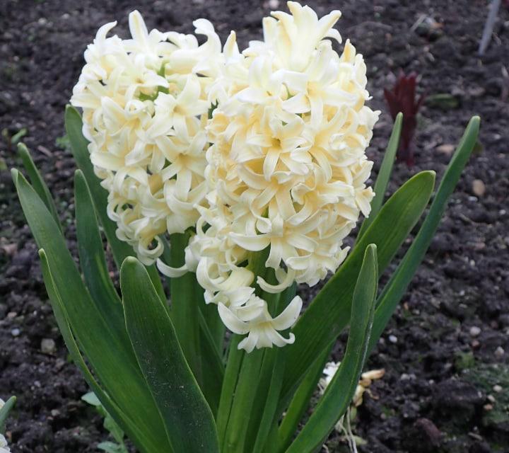 city of harlem hyacinth
