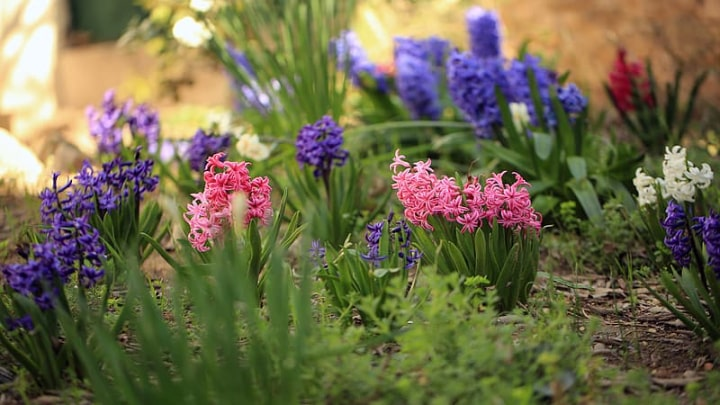 colorful hyacinth flowers