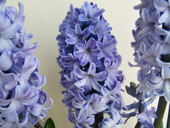 delft blue hyacinth