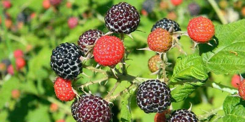 edible plants vertical rasberry