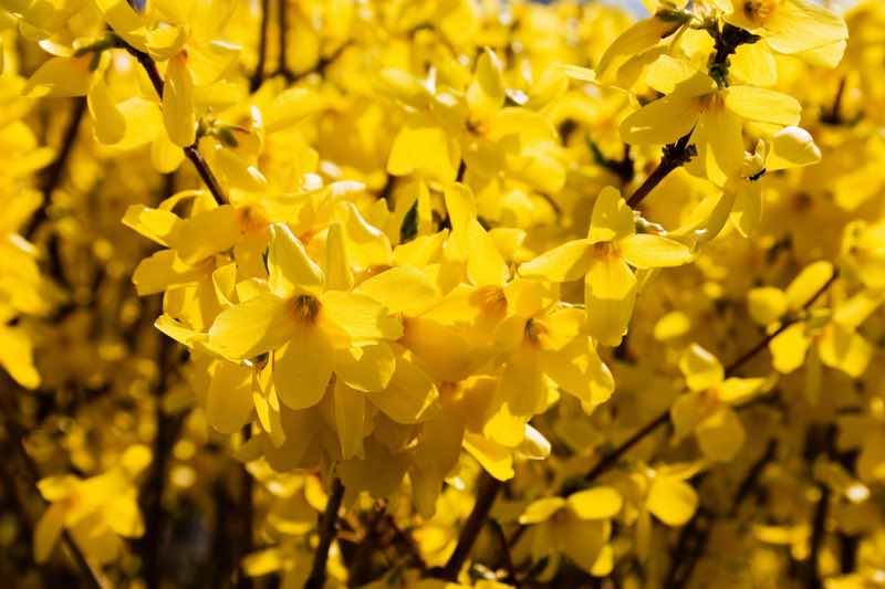 forsythia yellow flowering shrub
