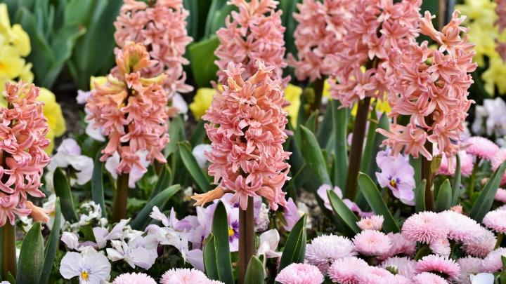 gipsy queen hyacinth