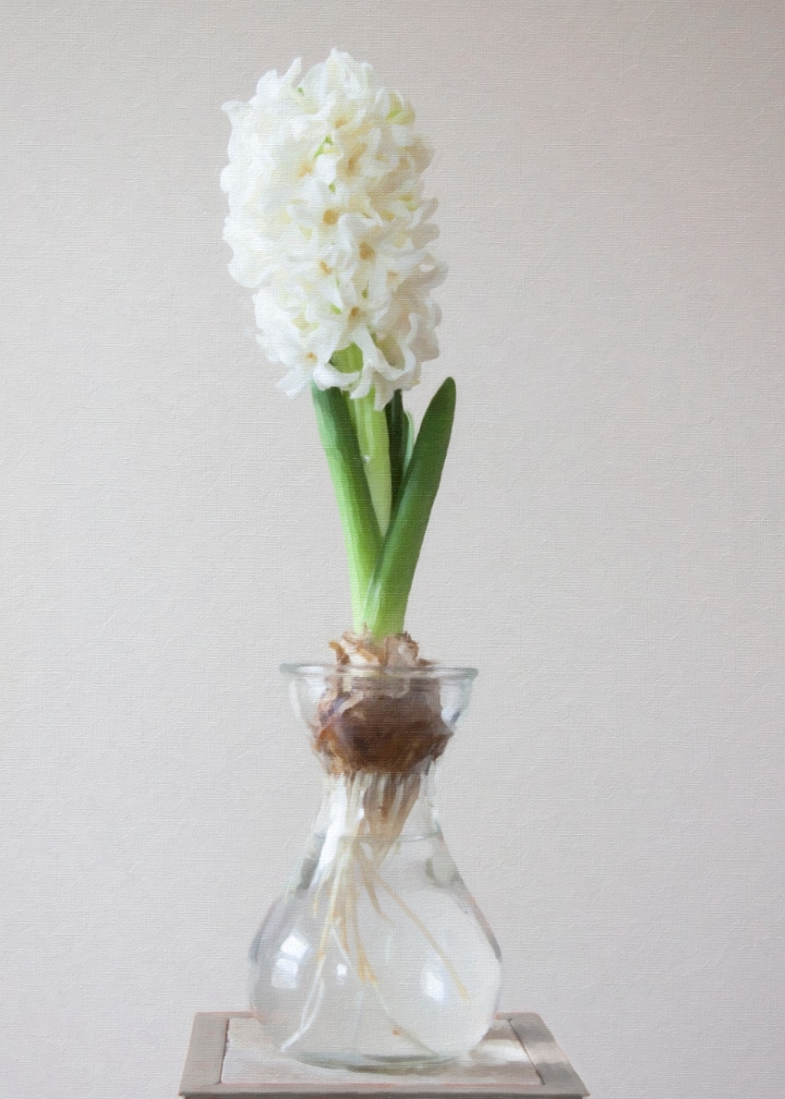 growing hyacinth in a vase