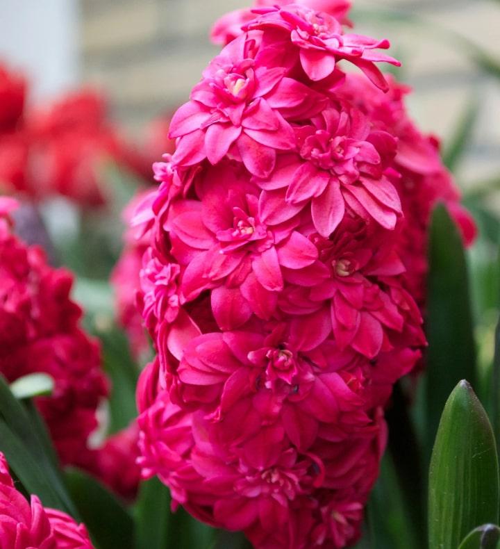 hollyhock hyacinths