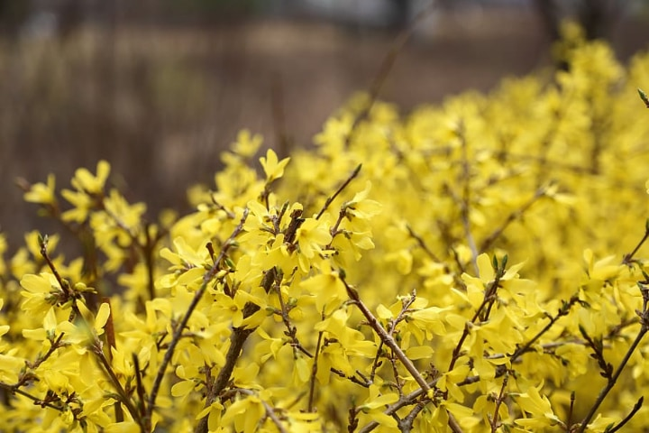 how to grow forsythia outdoors