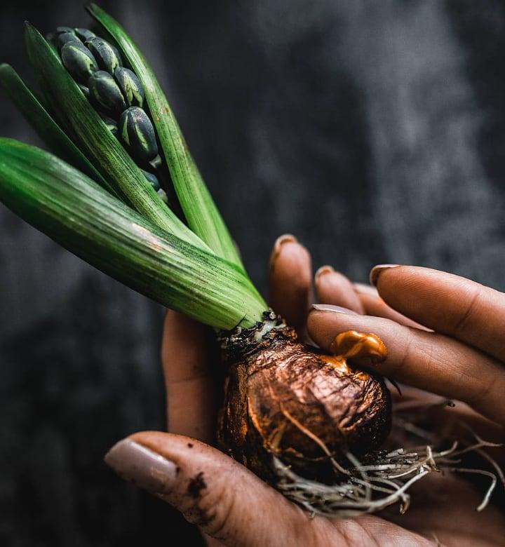 hyacinth care