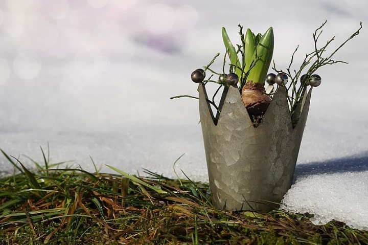 hyacinth in winter