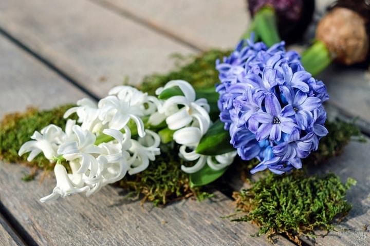 hyacinth potting