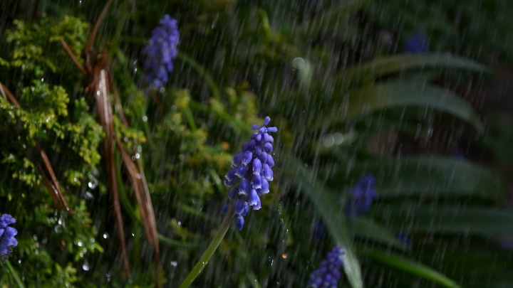 hyacinth water requirement