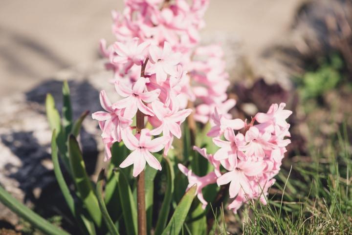 lady derby hyacinth