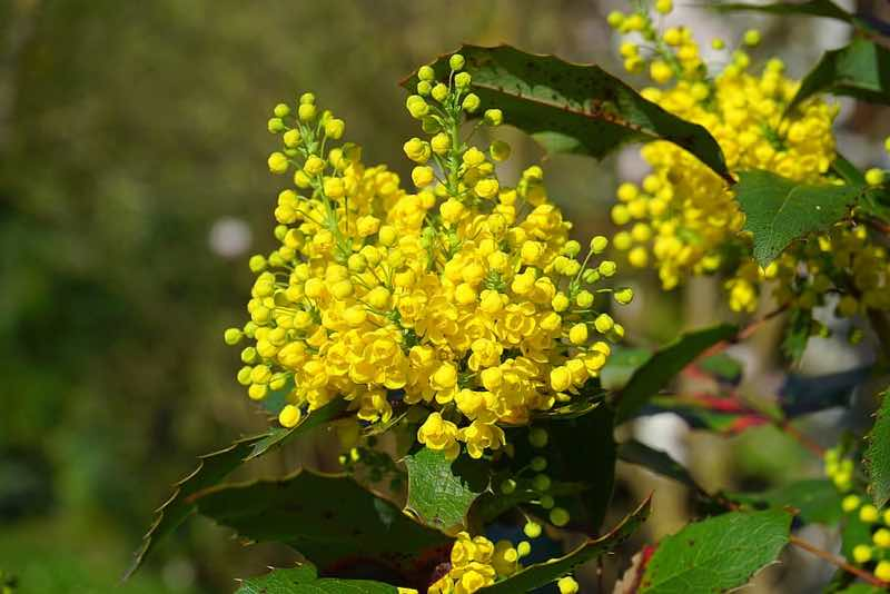 mahonia yellow flowering shrub