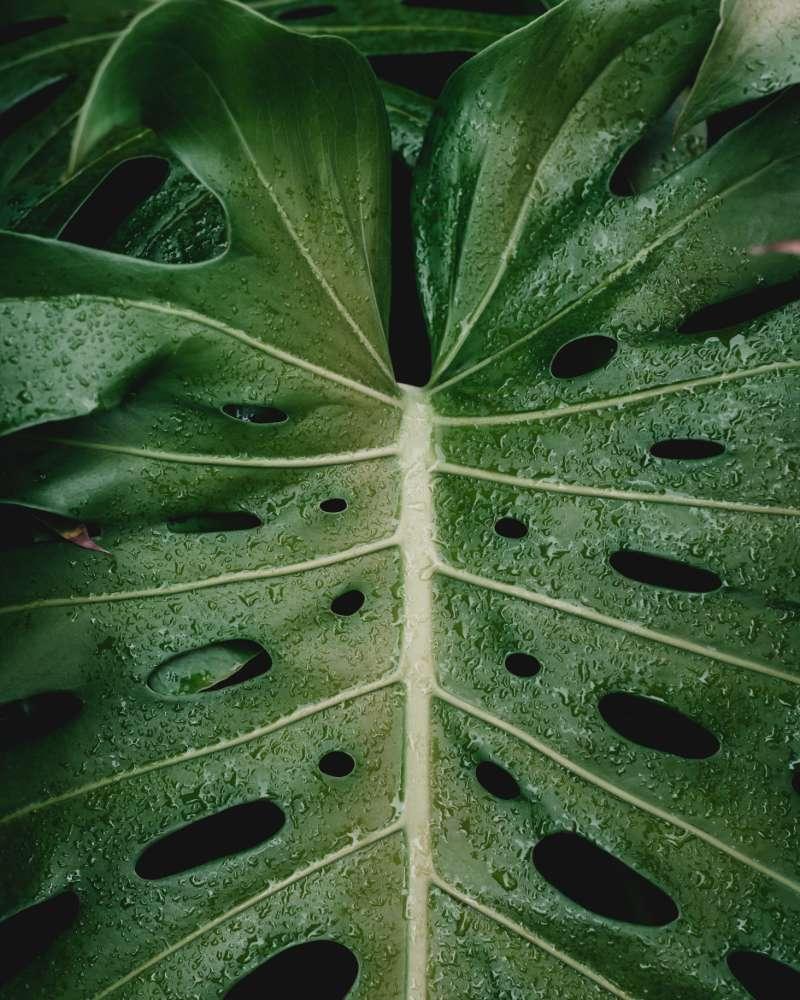 monstera bosigiana plant
