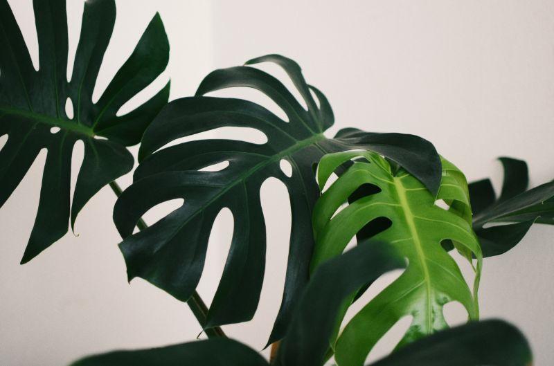 monstera plant 2