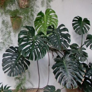 monstera plant growing guide
