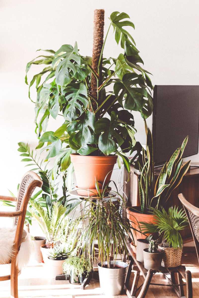 monstera plant pot