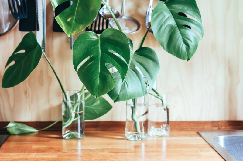 monstera plant water