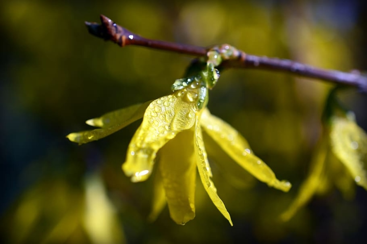 newly watered forsythia