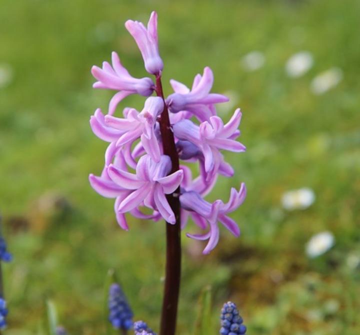 pink pearl hyacinth