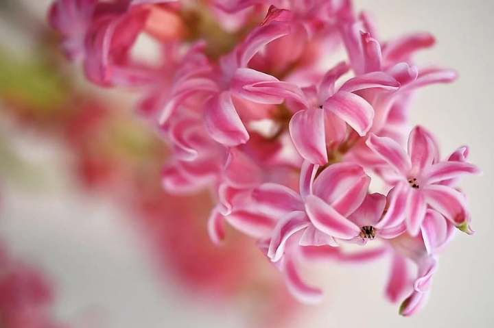 pink surprise hyacinth