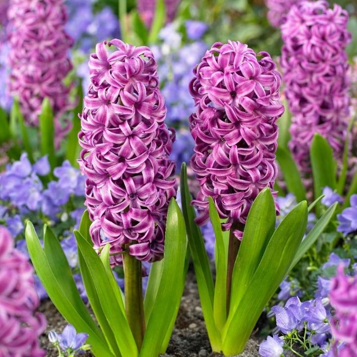 purple sensation hyacinth