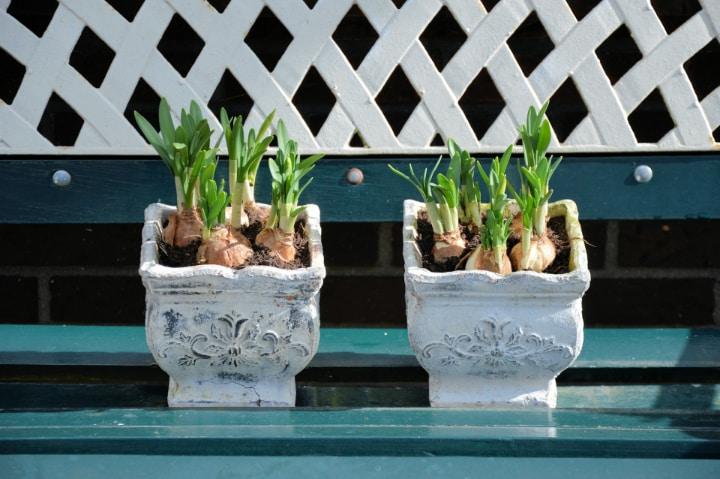 repottnng hyacinth plants