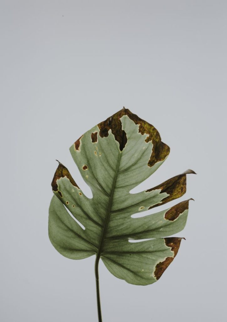 rotting monstera plant
