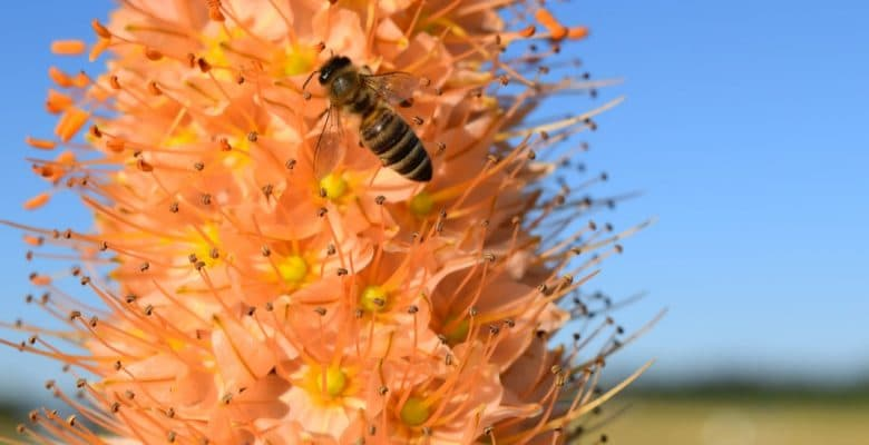 stunning eremurus plant adored by a bee