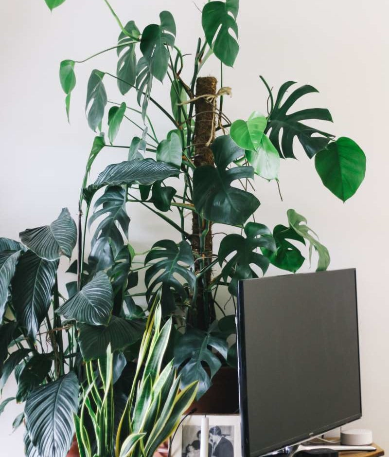 tall monstera