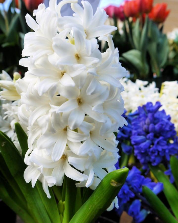 top white hyacinth