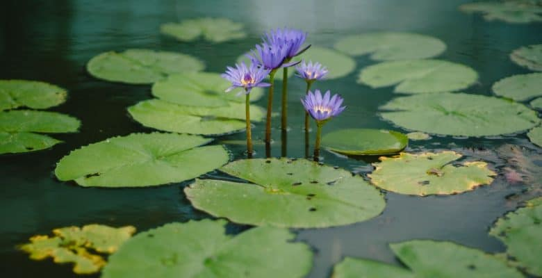 water lily plants flowers in pond