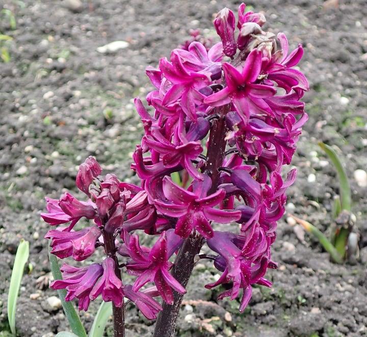 woodstock hyacinth