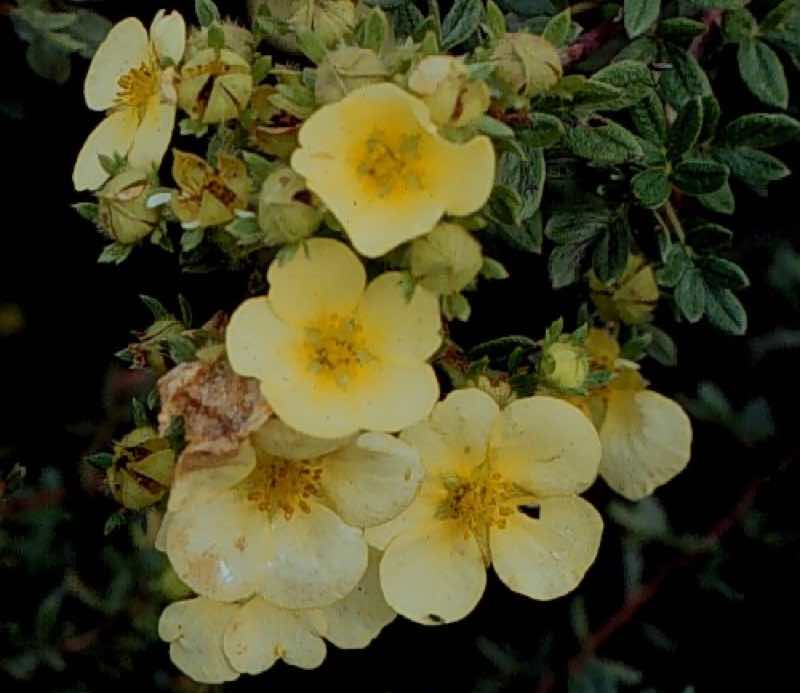 yellow bush cinquefoil
