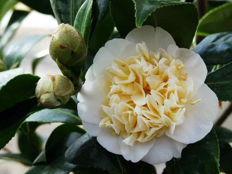 yellow flowering shrub camelia