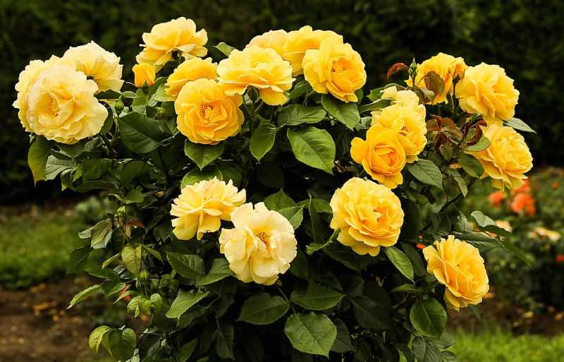 yellow rose flowering bush
