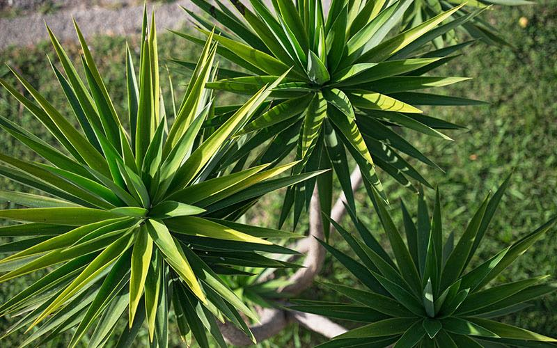 yucca caring growing watering plant