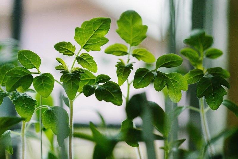 cloning-seedlings