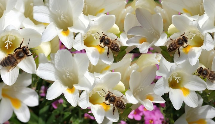 ambassador freesia flowers with bees