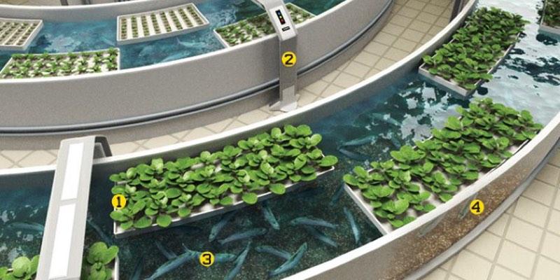 aquaponic farming fish vegetables