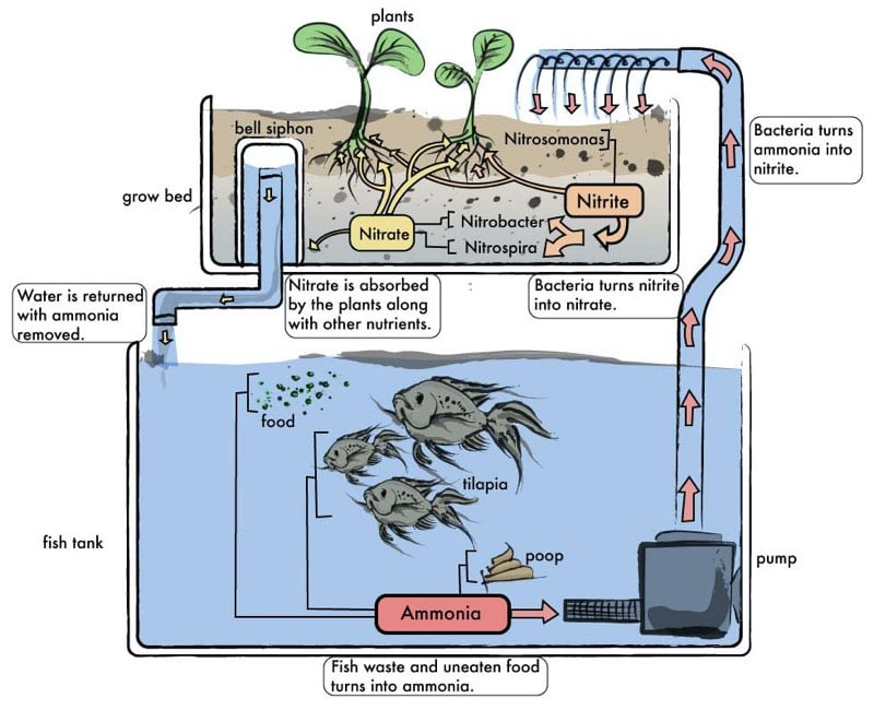 aquaponics fish tank plant how it works