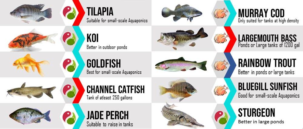 best fish for aquaponics tanks