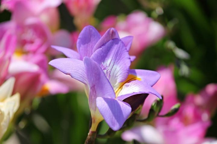 blue bayou freesia flower