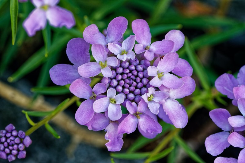 candytuft perennial flower