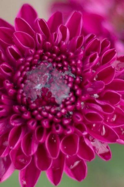 chrysanthemum flower blooms after a rain