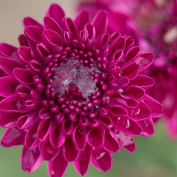 chrysanthemum flower blooms after a rain