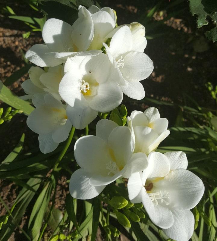 corvette freesia flower