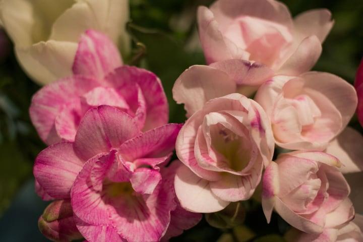 cote d'azur freesia flower
