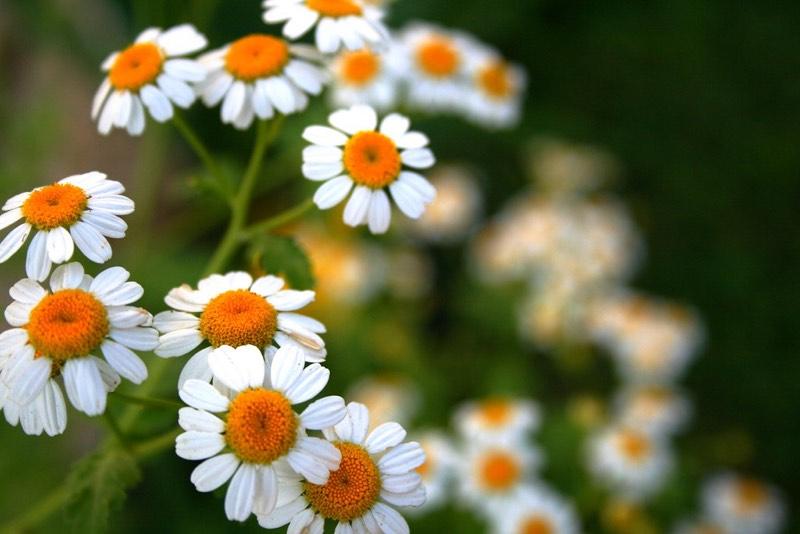 daisies perennials
