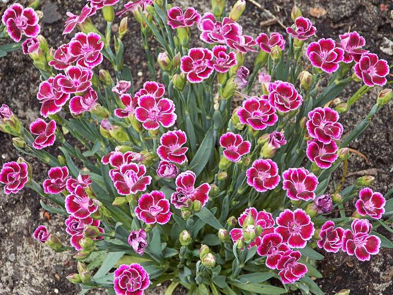 dianthus perennial flowers