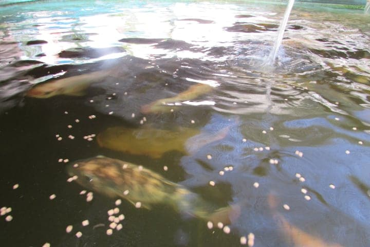 feeding fishes in a aquaponic fish tank