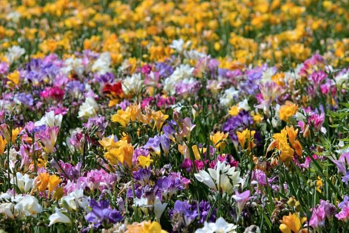 freesia flower field